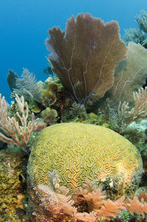 Grooved Brain Coral by Danita Delimont