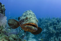 Atlantic Goliath Grouper von Danita Delimont