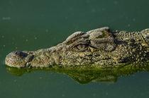 Cuban Crocodile von Danita Delimont