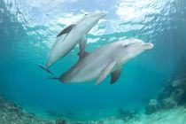 Mother and 6 month old baby Atlantic bottlenose dolphins by Danita Delimont