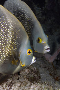 Portrait of two French angelfish, face to face by Danita Delimont