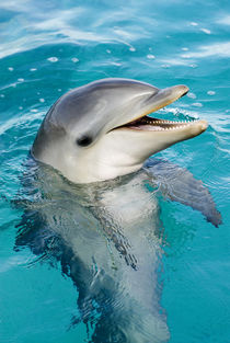 Bottlenose dolphin calf at six months by Danita Delimont