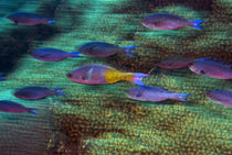 School of fast swimming creole wrasse over a coral reef von Danita Delimont