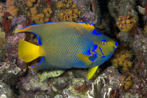 Adult Queen angelfish in defensive pose with dorsal fin rais... von Danita Delimont