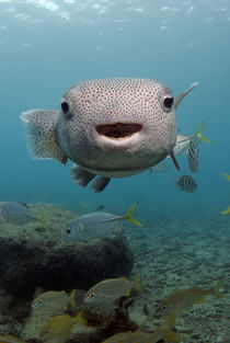 Portrait of a porcupinefish von Danita Delimont