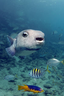 Portrait of a porcupinefish by Danita Delimont