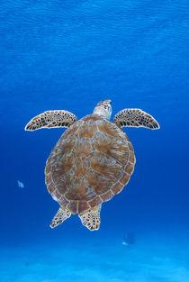 Portrait of a green sea turtle by Danita Delimont