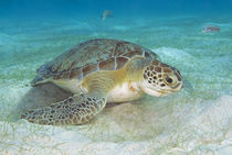 Green sea turtle feeding on sea grass by Danita Delimont