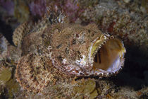 Camouflaged spotted scorpionfish with mouth wide open von Danita Delimont