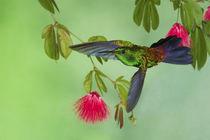Copper-rumped Hummingbird von Danita Delimont