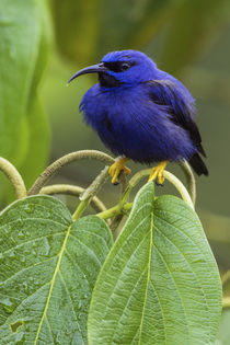 Purple Honeycreeper by Danita Delimont