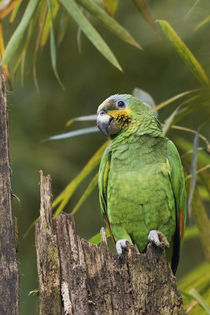 Orange-winged Parrot von Danita Delimont