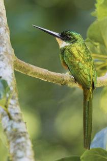 Rufous-tailed Jacamar by Danita Delimont