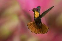Ruby Topaz Hummingbird by Danita Delimont