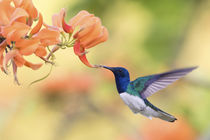 White-necked Jacobin by Danita Delimont