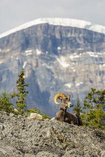 Canada, Alberta, Jasper National Park, Bighorn Sheep Ram von Danita Delimont