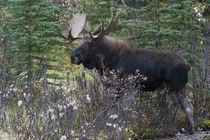 Shiras Bull Moose by Danita Delimont