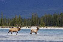 Rocky Mountain Bull Elk Chasing Cow von Danita Delimont