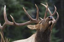 Rocky Mountain Bull Elk by Danita Delimont