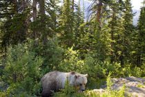 Grizzly bear, Moraine Lake, Banff National Park, Alberta, Canada von Danita Delimont