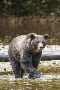 Brown or grizzly bear fishing for salmon in Great Bear Rainf... by Danita Delimont