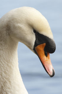 Canada, British Columbia, Vancouver, Stanley Park, Mute Swan by Danita Delimont