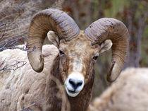Rocky Mountain Bighorn Sheep near Radium, B von Danita Delimont