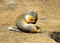 Columbia Ground Squirrel in early spring. by Danita Delimont