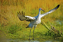 Sandhill crane, Grus canadensis taking flight. by Danita Delimont