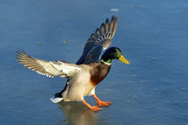 A drake lands on an icy pond by Danita Delimont