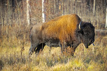 The wood bison by Danita Delimont