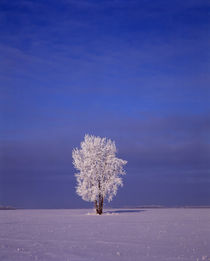 Canada, Manitoba, Dugald, hoarfrost on cottonwood tree Credi... by Danita Delimont