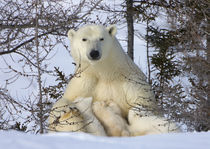 Mother polar bear with three cubs on the tundra, Wapusk Nati... by Danita Delimont