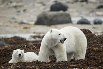 Polar Bear and Cub by Hudson Bay, Manitoba, Canada by Danita Delimont