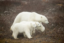 Polar Bear and Cubs by Hudson Bay, Manitoba, Canada by Danita Delimont