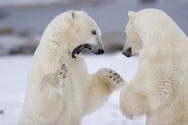 Polar Bears sparring, Churchill, MB by Danita Delimont