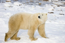 Polar Bear near Hudson Bay, Churchill MB, Canada by Danita Delimont