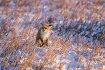 Red Fox in winter Churchill Wildlife Management Area Churchill, MB by Danita Delimont
