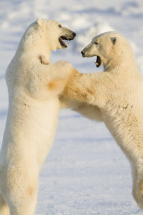 Polar Bears sparring Churchill Wildlife Management Area Churchill MB by Danita Delimont
