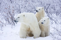 Polar Bears female and Two cubs, Churchill Wildlife Manageme... by Danita Delimont