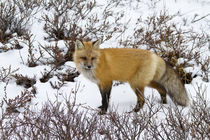 Red Fox in snow in winter, Churchill Wildlife Management Are... by Danita Delimont