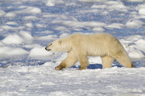 Polar Bear walking near Hudson Bay Churchill Wildlife Manage... by Danita Delimont