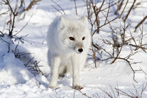 Arctic Fox in snow in winter, Churchill Wildlife Management ... von Danita Delimont