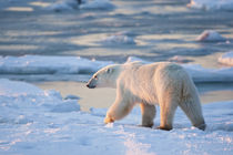 Polar Bear walking along Hudson Bay in winter, Churchill Wil... by Danita Delimont