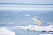Polar Bear standing along Hudson Bay in winter, Churchill Wi... by Danita Delimont