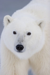 Polar Bear Churchill, Manitoba, Canada. by Danita Delimont