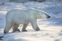 Polar Bear in snow, Churchill Wildlife Management Area, Chur... by Danita Delimont