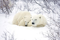 Polar Bears female and cub, Churchill Wildlife Management Ar... by Danita Delimont