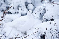 Willow Ptarmigan in winter, Churchill Wildlife Management Ar... by Danita Delimont