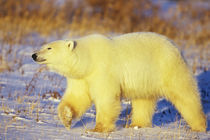 Polar Bear walking, Churchill, Manitoba, Canada von Danita Delimont